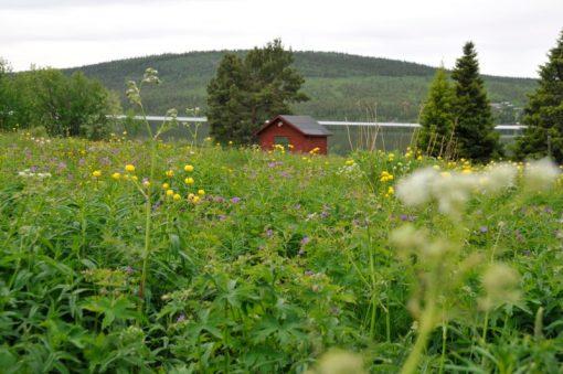 Blomsteräng med midsommarblomster och smörblommor