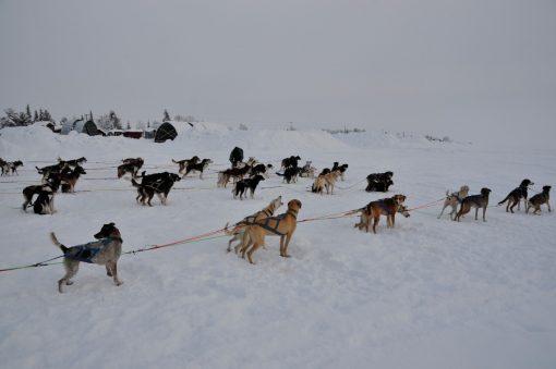 Hundar i hundspann under en resa till Jokkmokks marknad